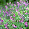 Hairyvetch