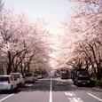 Tachikawasakura